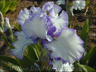 Willow Bend Iris Farm